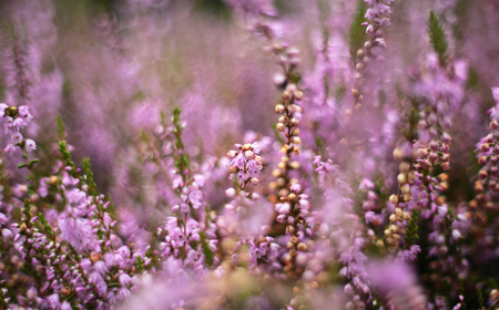 A heap of heather in an interesting, slightly up close approximation