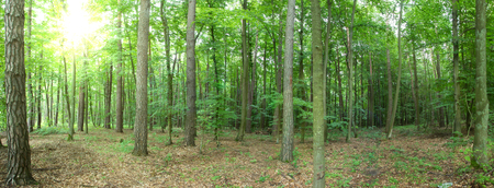 Trees in the forest - panorama Imagens