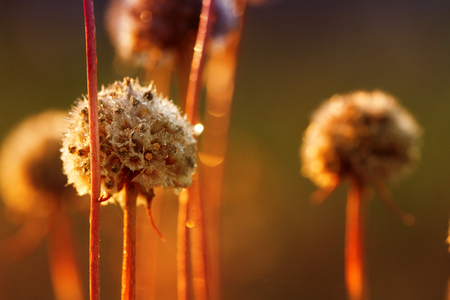 Dry clover flowers covered with morning dew in the rising sun Stock Photo