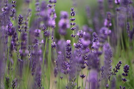 Lavender field - closeup Stock Photo