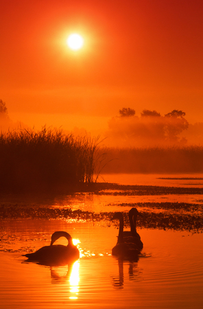 Swans on a lake covered with morning mist lit by the rising sun