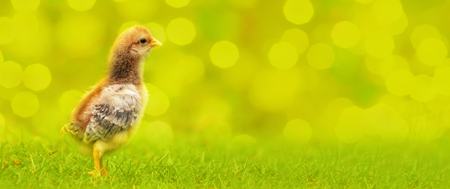 young chicken on a nice green - yellow background with natural blur
