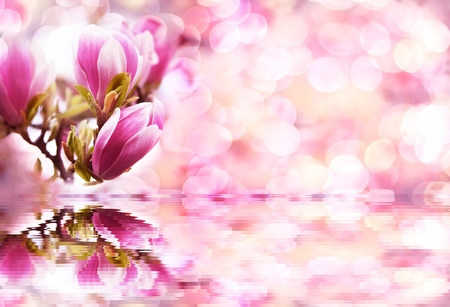 blue sky magnolia flowers look like pink and white Chinese lanterns with reflection in water Stock Photo