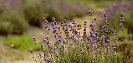 Blooming, blue lavender flowers in the warm summer light