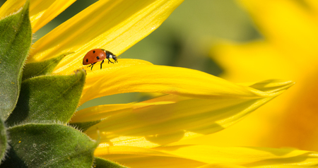 A red ladybird walking on yellow sunflower petals 免版税图像