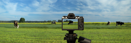 Camera and Slowly walking cows on green pasture with blue sky with white clouds - panorama