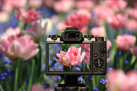 Camera and Pink feathery tulips proudly protruding from the blue, delicate flowers of forgetfulness