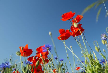 Red, wonderful poppies on a background of blue sky
