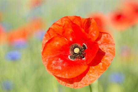 A single flower of red, the perfect poppy