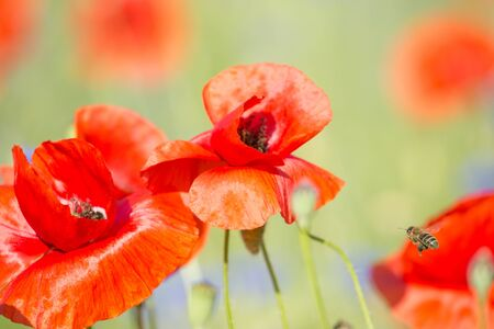 Red, fresh poppies on a background of nice blur