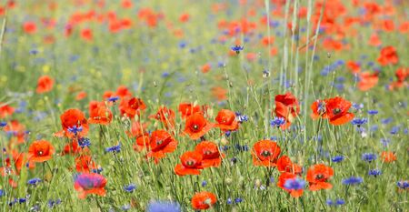 A large field of nice, fresh, magnificent poppies