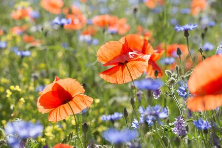 A group of red, fresh poppies on a background of poppy field