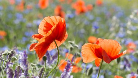 A group of red, fresh poppies on a background of poppy field Standard-Bild - 126651418
