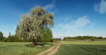 Solitary, white-blossoming apple tree with a blue sky and a dirt road in sand