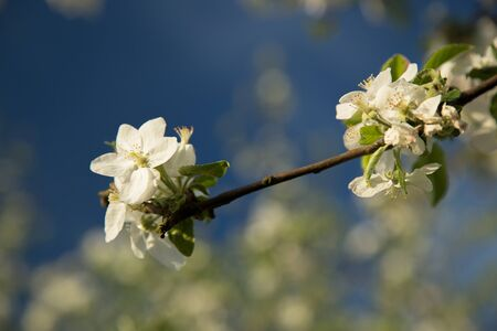Blooming apple trees with blue sky - close-up of flowers
