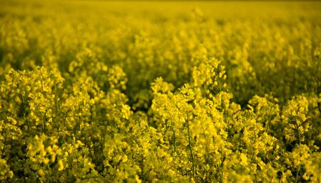 Field of blooming oilseed rape - view of all yellow flowers from the field