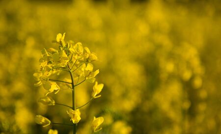 Field of blooming rapeseed - closeup of one of the yellow flowers