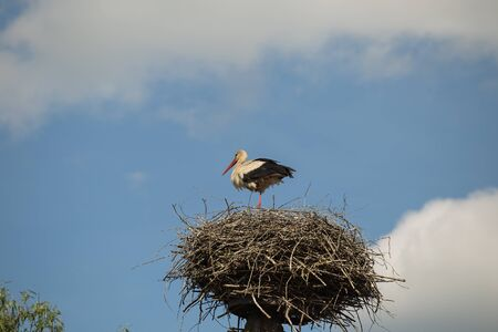 White stork standing in its nest seen from below