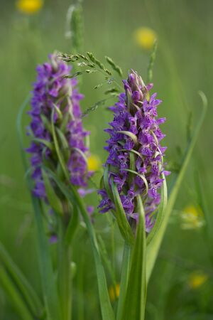 Wild orchids on a wet, spring, green meadow
