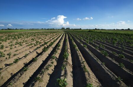 Planted potatoes field, fresh soil, green plants and blue sky