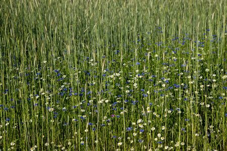 Spring meadow with cornflowers and daisies - green, natural background