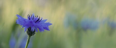 Horizontal photograph of a Cornflower (Centaurea cyanus) on a blurred, floral background