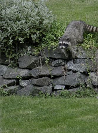 racoon: Racoon