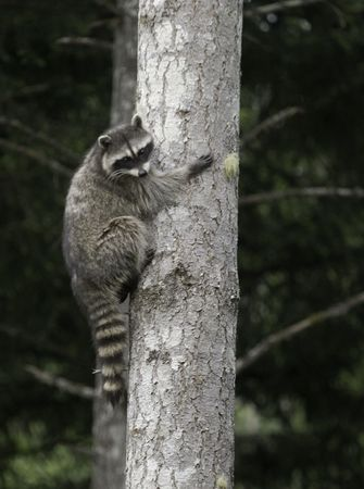 racoon in a tree Stock Photo