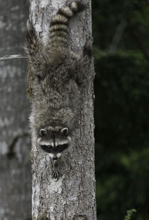 racoon going down a tree