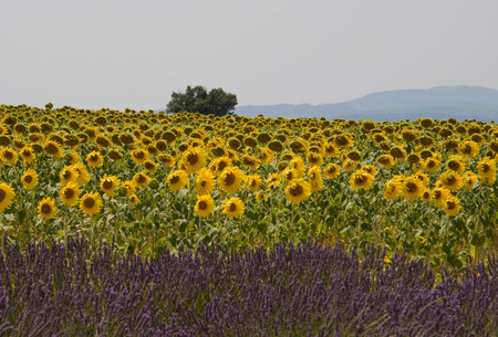 Lavender and sunflower field photo