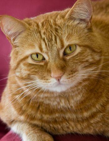 purring: Orange cat Stock Photo
