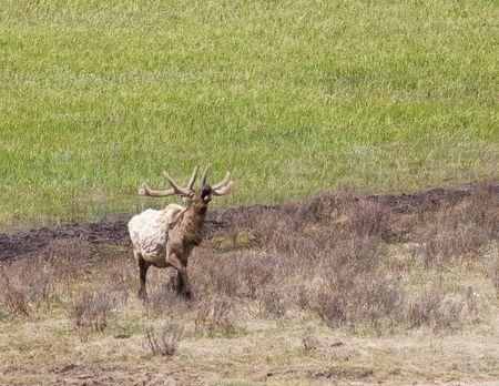 Bull Elk Фото со стока - 4899377