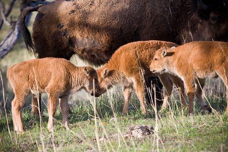 Bison calfs 版權商用圖片