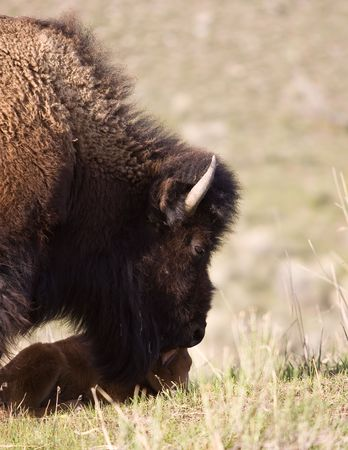 Bison and calf 版權商用圖片