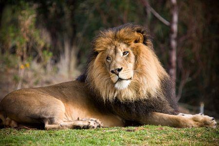 rey: León  Foto de archivo