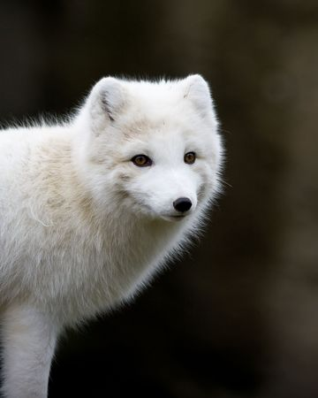 Arctic fox Banco de Imagens - 6385835