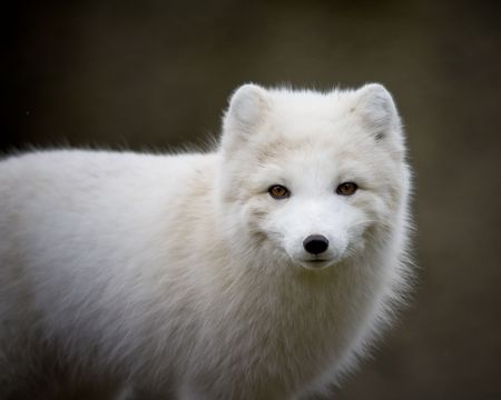 Arctic fox Banco de Imagens - 6385832