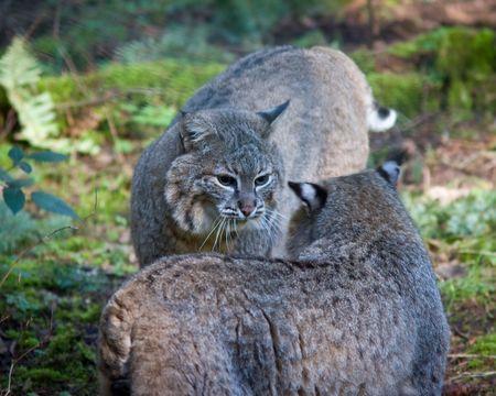 lince rojo: Bobcat  Foto de archivo
