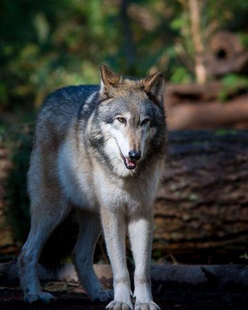 Gray wolf Banco de Imagens - 6487250