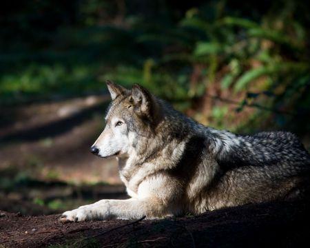 Gray wolf Banco de Imagens - 6487257