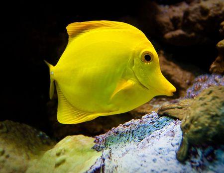 surgeon fish: Pez cirujano amarillo  Foto de archivo