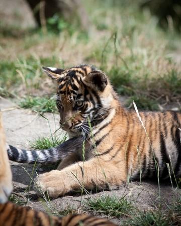 hunter playful: Tiger cub Stock Photo