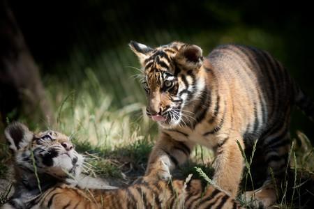 hunter playful: Tiger cubs