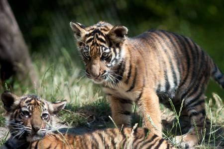 Tiger cubs Banco de Imagens - 7675655