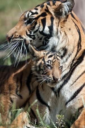 hunter playful: Tiger cub with mum