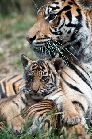 hunter playful: tiger cub
