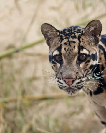 Clouded Leopard cub Stock Photo - 7757403
