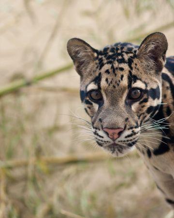 clouded leopard: Clouded Leopard cub