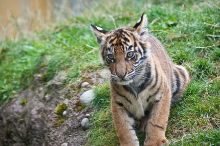 Tiger cub Stock Photo - 7757417