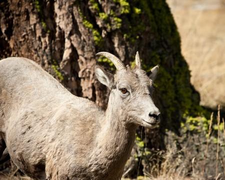 ewe: Ewe bighorn sheep during Fall